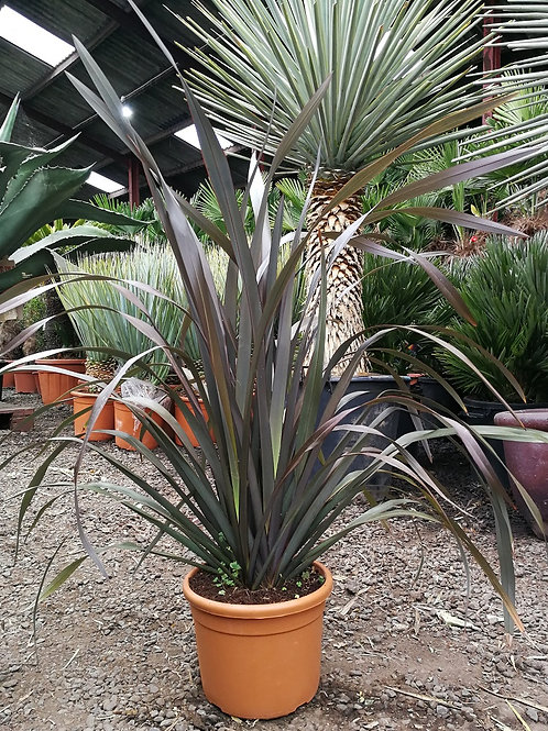 Phormium Tenax 'Platt's Black'. Black New Zealand Tenax Plants for sale