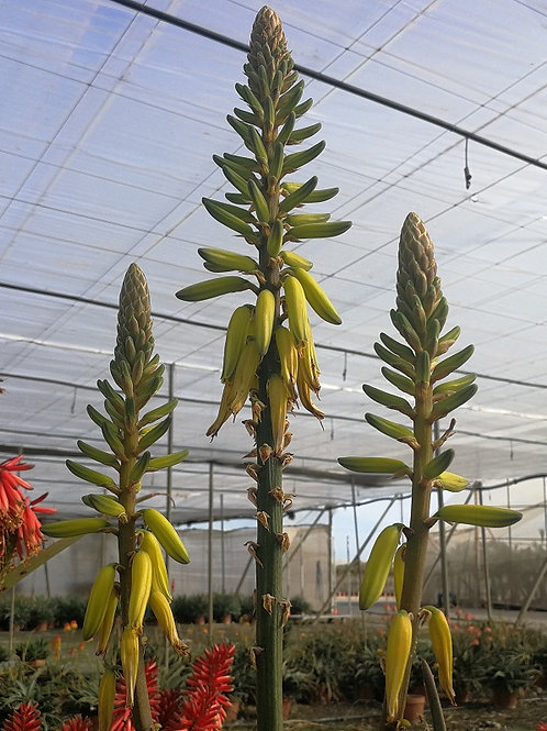 Aloe Hybrid Yellow  Plants For Sale