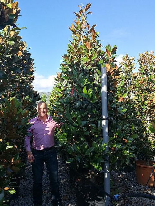 Extra Large Magnolia Grandiflora 'Gallisoniensis' Trees