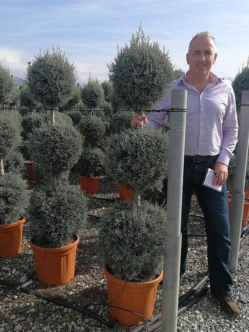 Cupressus Arizonica Fastigiata Ball Topiary Trees.