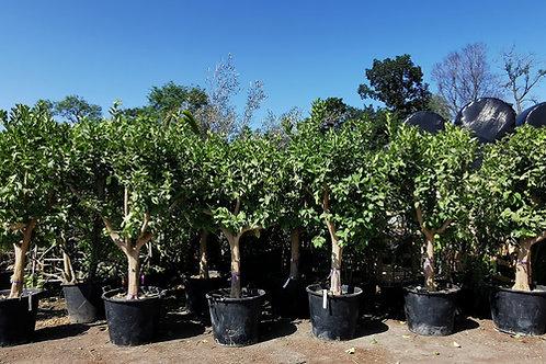 Large Lemon Trees For Sale