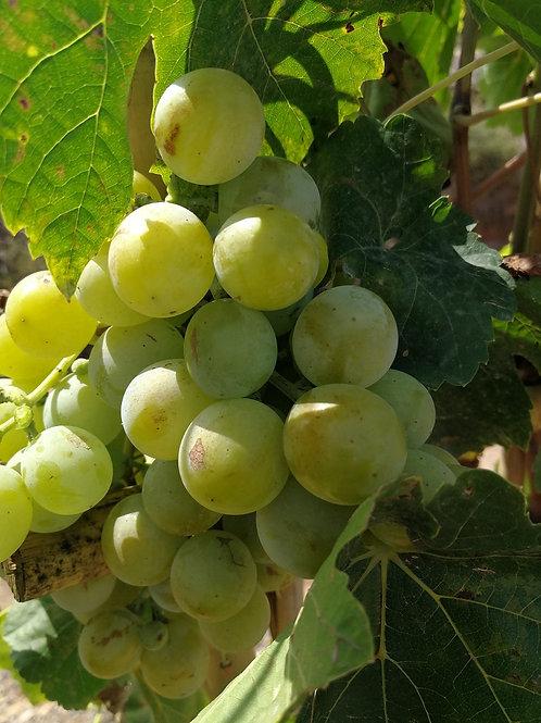 Espalier Trained Grape Vines. Variety 'Superior'.