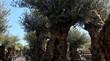 Specimen Gnarled Old Olive Trees