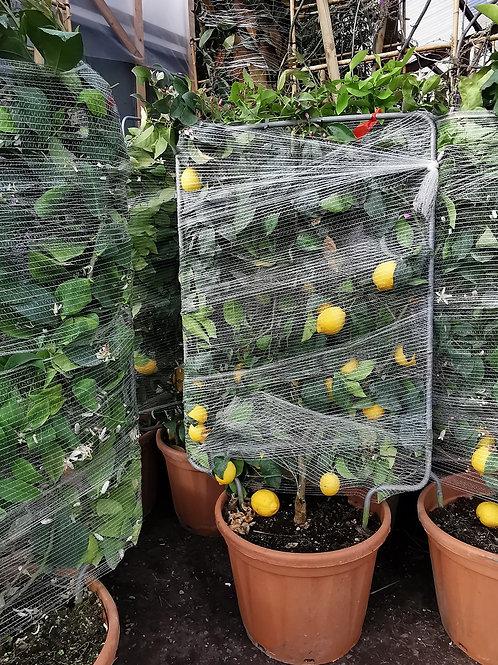 Large Lemon Espalier Trees For Sale