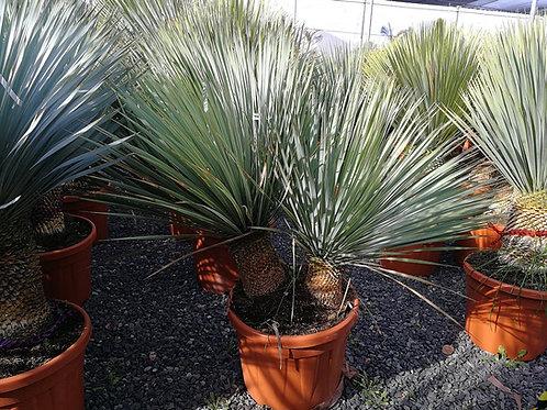 Yucca Rostrata Multi trunk plants For Sale.
