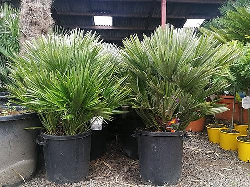 Chamaerops Humilis 'Vulcano' Palm Tree for sale