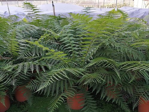 Dicksonia Antarctica Tree Ferns Pot Grown