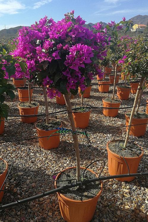 Bougainvillea 'Sanderiana' half Standard Trees For Sale.