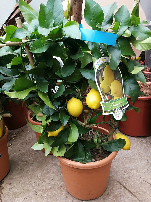 Lemon Espalier Trees For Sale