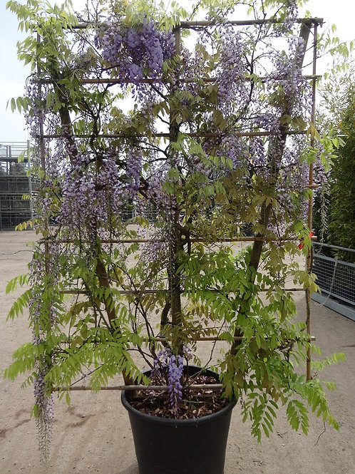 Large Wisteria Sinensis Espalier Trees. Chinese Wisteria Espalier Trees