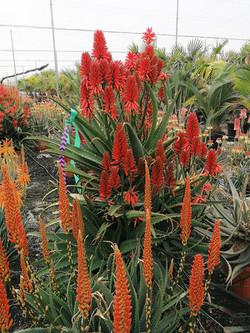 Large Aloe Plants