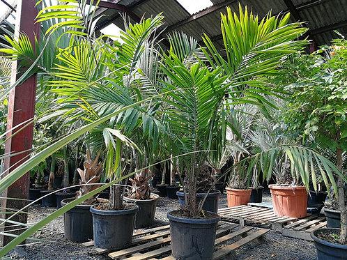 Elaeis Guineensis Palm. African Oil Palm Tree