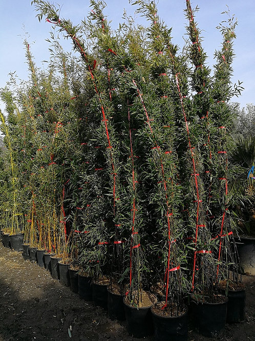 Tall Phyllostachys Nigra. Black Bamboo Plants for sale.
