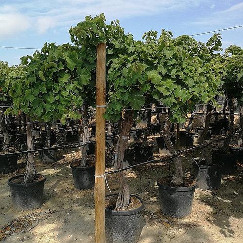 Large Grape Vines. Variety 'Superior'.