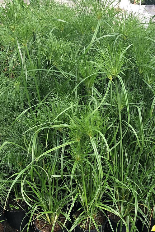 Cyperus Paperus. Egyptian Paper Reed Plants For Sale.