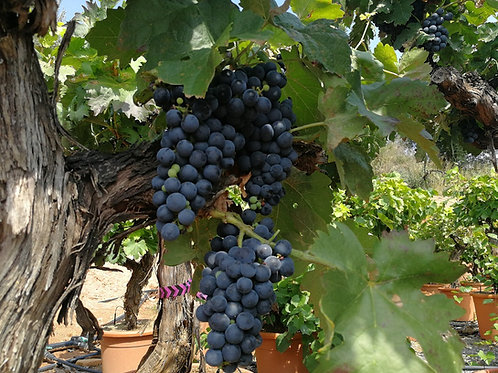 Grape Vines for sale. Tempranillo Variety.