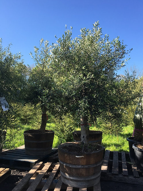 Top Quality Olive Trees