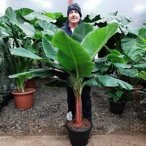 Large Musa Dwarf Cavendish Banana Plants for Sale