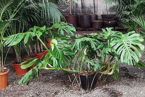 Large Monstera Deliciosa Plant. Large Swiss Cheese Plant. Large Indoor House Plants for sale