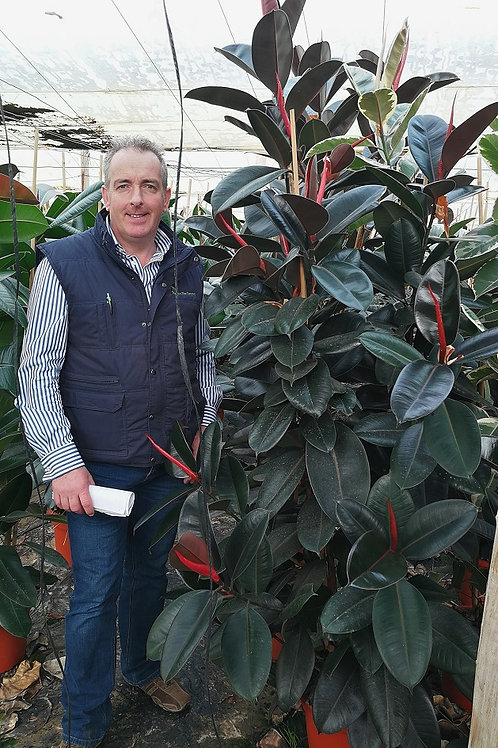 Large Ficus Elastica 'Abidjan' Plants