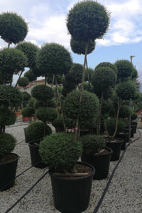 Ligustrum Jonandrum Pom Pom Topiary. Delavay Privet Topiary Trees