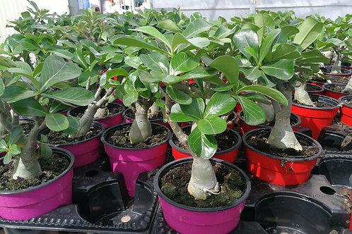 Adenium Obesum. Desert Rose Plant