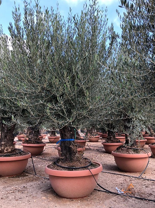 Large Gnarled Spanish Olive Trees For Sale