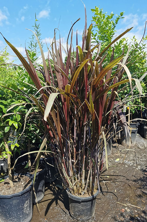 Saccharum Officinarum. Purple Sugar Cane