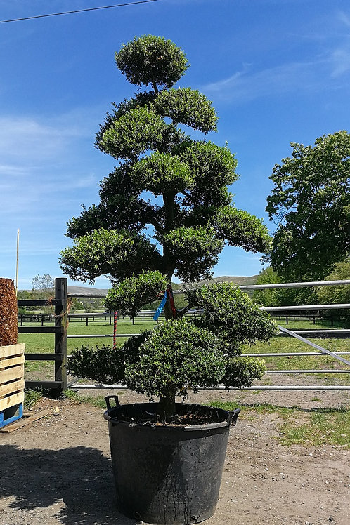 Specimen Ilex Crenata 'Kinme' Cloud Topiary Tree