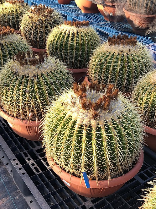 Large Echinocactus Grusonii Cactus. Large Golden Barrel Cactus