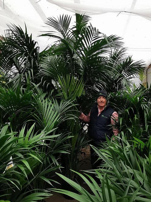 Extra Large Kentia Palm Tree for sale. Howea Forsteriana Palm.