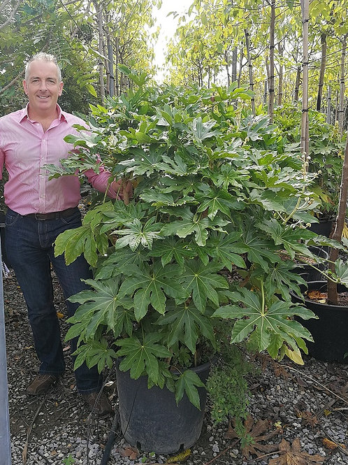 Large Fatsia Japonica Plants. Large Japanese Arailia Plants For Sale