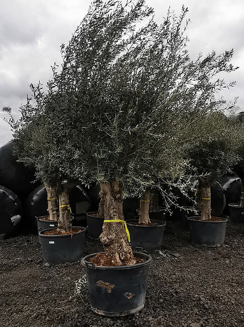 Large Gnarled Olive Trees with Open Crown For Sale