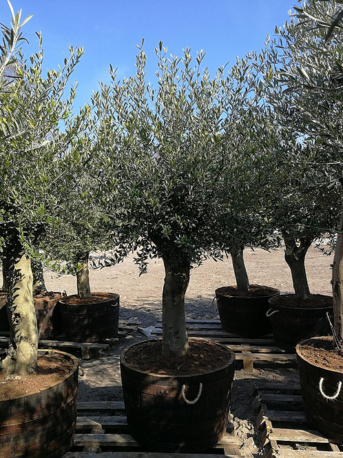 Quality Olive Trees in a Port Barrel