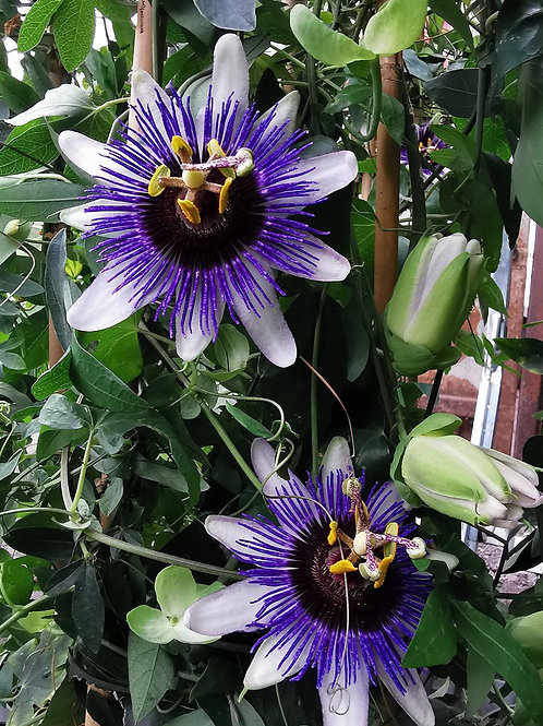 PASSIFLORA CAERULEA. Blue Passion Flower.