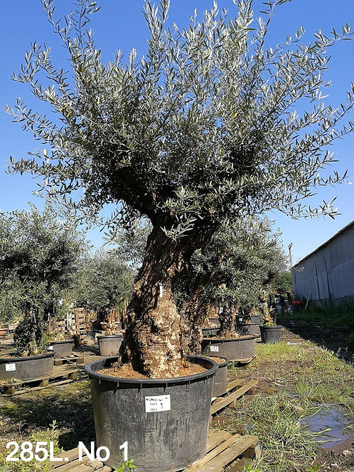 Huge Gnarly Ancient Olive Trees