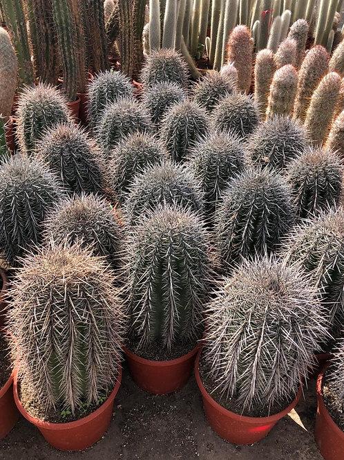 Large Saguaro Cactus. Carnegiea Gigantea Cactus for sale.