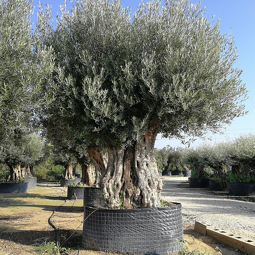 Huge Ancient Spanish Gnarled Olive Trees For Sale
