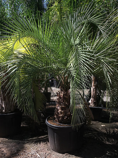 Large Butia Yatay Palm Tree