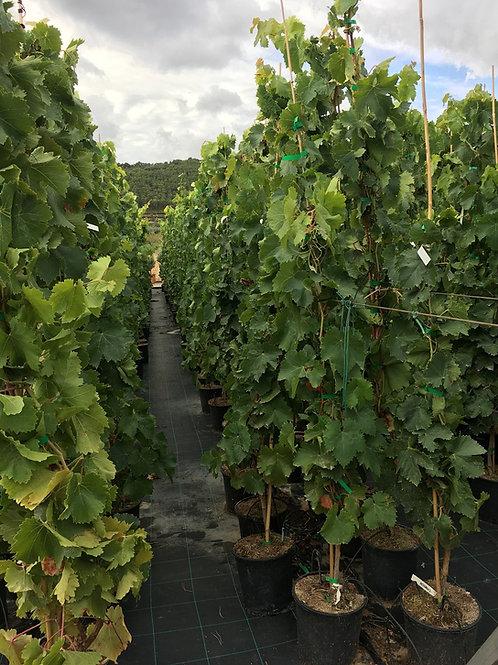 Seedless grape vines for sale