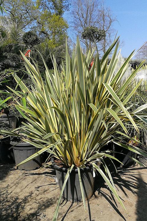 Large Phormium Tenax Variegata Plants For Sale.
