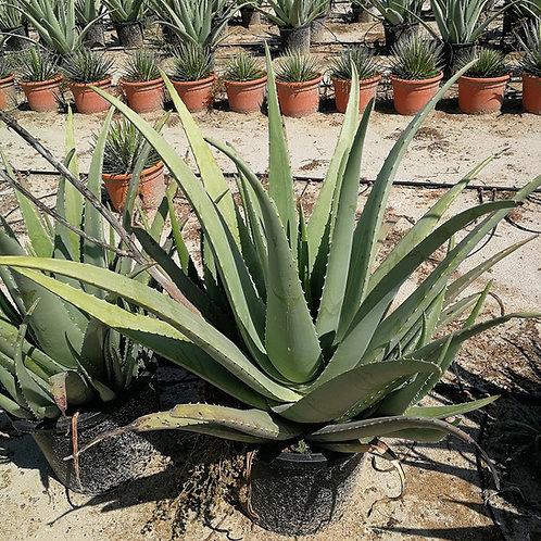 Large Aloe Vera Plants For Sale