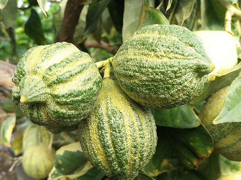 Variegated Lemon Trees For Sale