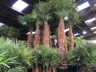 Amazing Trachycarpus Fortunei