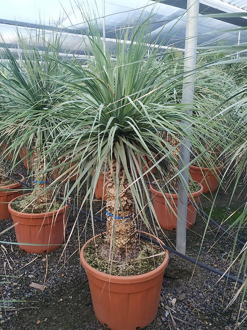 Nolina Longifolia for sale. Ponytail Palm. Weeping Palmita