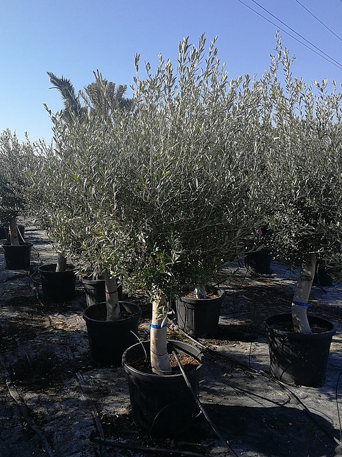 Open Crown Olive Trees