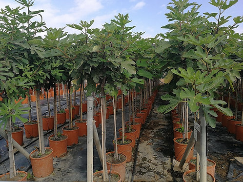 Ficus Carica 'Brown Turkey' Fig Trees