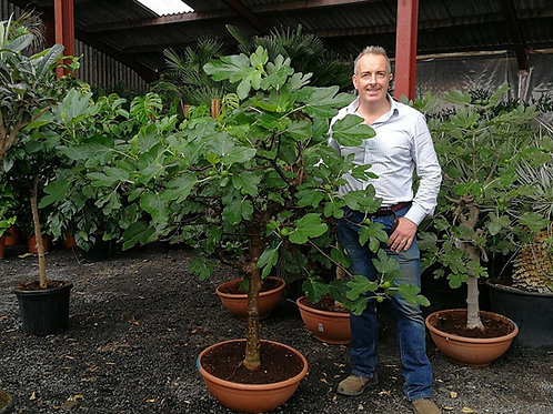 Fig trees. Ficus carica 'Verdal'.