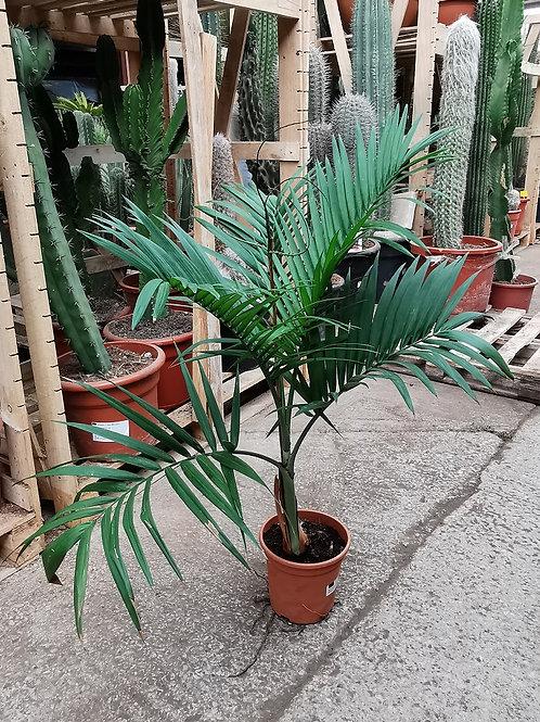 Chamaedorea Radicans Aborescent form. Hardy Palour Palm