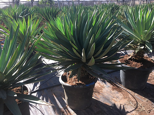 Large Yucca Gloriosa 'Lone Star' for sale